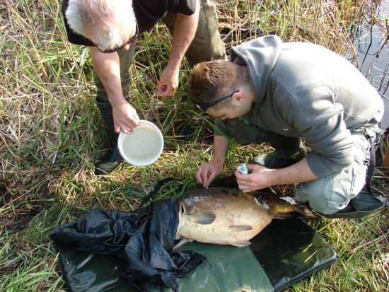 Przygotowanie ran na ciele ryby do dezynfekcji