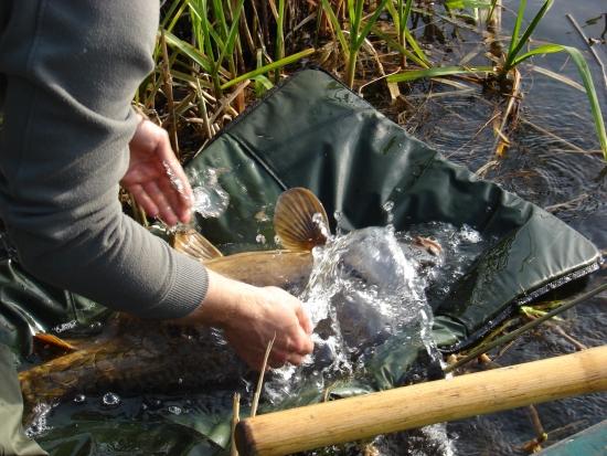 Przed wypuszczeniem mocno moczymy rybę by znów się przyzwyczaiła do temperatury wody